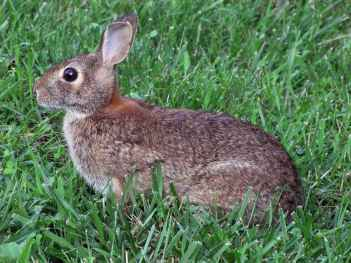 Rabbit_in_spring_grass